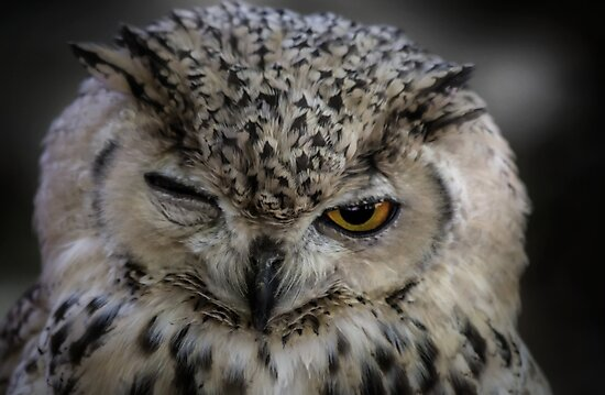 Winking Owl  by Dawn van Doorn
