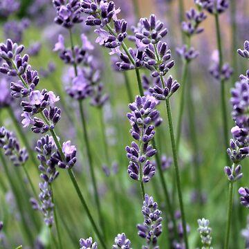 Lavender Plant by JudyPalkimas