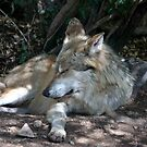 Mexican Wolf by Chris Clarke