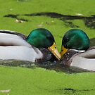 duck love by Perggals© - Stacey Turner