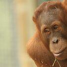 Male Orangutan - Sumatran by Steve Bullock
