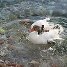 Duck Splashing Water Creating Ripples on Riverbank by taiche