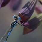 Blue Damselfly by KiriLees