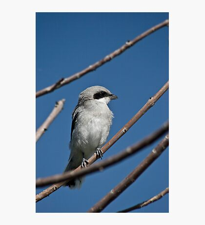 Northern Shrike Photographic Print