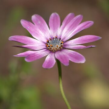 Spring African Daisy by DianaG