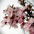 Cherry blossoms in spring by Cricket Jones