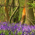 Bluebell Wood 6 by SimplyScene