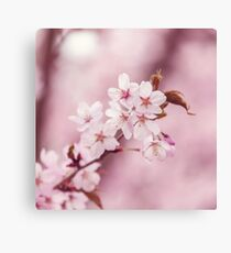 Blossoming pink cherry trees in spring Canvas Print