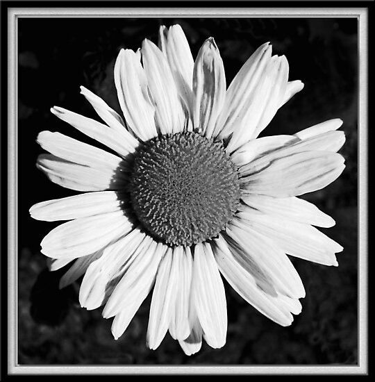 Daisy In Frame by Chet  King