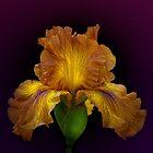 The Yellow Iris by EbyArts