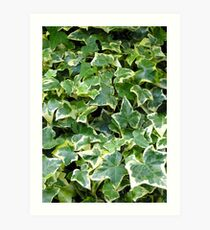 "The variegated foliage of ivy Hedera Helix ""Goldchild"" Art Print"
