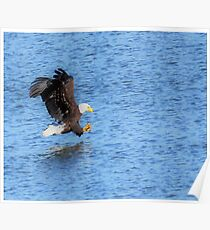 Bald Eagles Claws Ready Poster