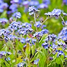 Forget-me-nots  by Dave Hare