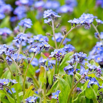 Forget-me-nots  by Femaleform