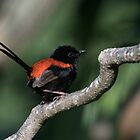 Red-Backed Fairy Wren by JAPhotography1