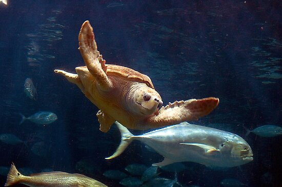 Sea Turtle by TJ Baccari Photography