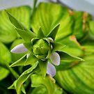 Green Star by rosaliemcm