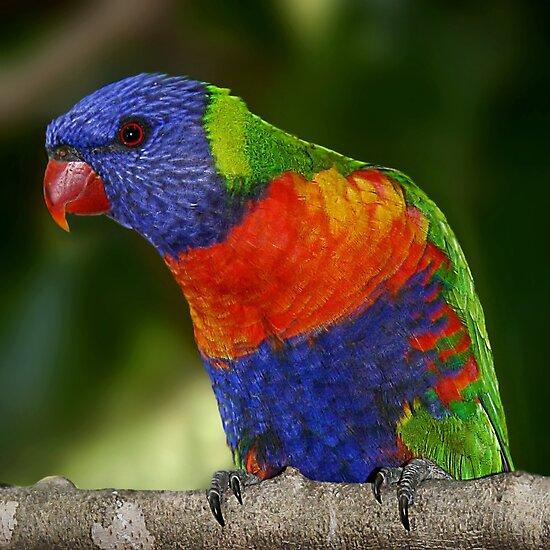 Rainbow Lorikeet by Didi Bingham