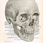 Human Skull, 19th Century illustration by artfromthepast
