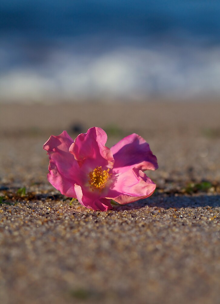 Rose Hip Blossom at the Beach by Christopher Seufert