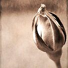 Stone Rose by Cordelia