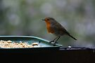 Robin Eating Crackers. by davesphotographics