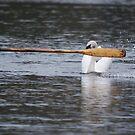 defensive swan by dougie1