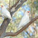 Corellas at Hose Shoe Lagoon 02 by Aden Brown