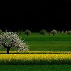 A blooming Apple Tree in a Rape Field.....Switzerland by Imi Koetz