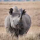 Black Rhino in Africa by Dennis Stewart