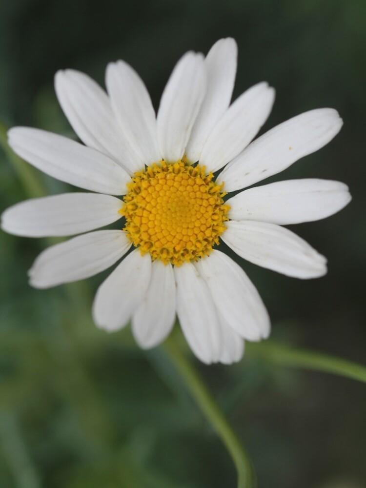 White Daisy  by thepurplelilac