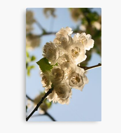 Blossoms I Canvas Print