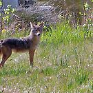 Coyote Visitor by ArkansasLisa