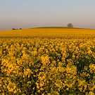 Yellow fields on the Berkshire downs  by Jim Hellier