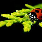 Ladybug ... by SNAPPYDAVE
