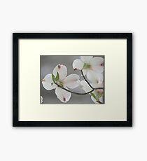~Pink Tinged Dogwood Blossoms~ Framed Print