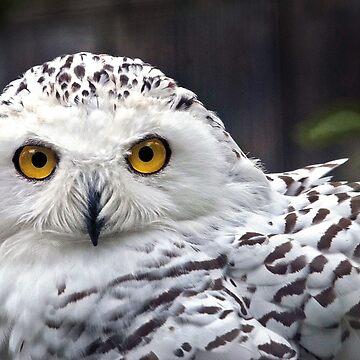 Snowy Owl by micmac
