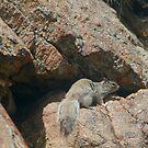 Rocky Squirrel by Arla M. Ruggles