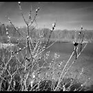 Pussy willows at the lake by jrier