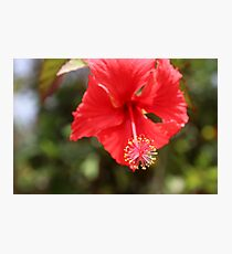 Red flower from a Cuban garden Photographic Print