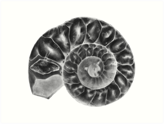 Ammonite Marine Fossil Illustration by Audrey Howell