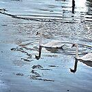 Swan Tranquility !  (interesting info in description) by Nancy Richard