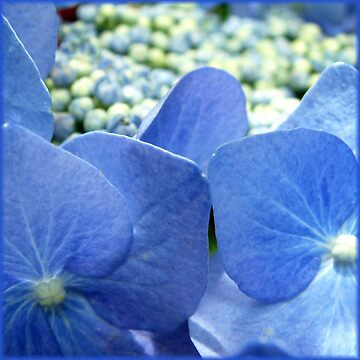 beautiful blue- hydrangea by picketty