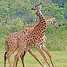 Sparring Giraffes, Arusha National Park, Tanzania, Africa by Adrian Paul