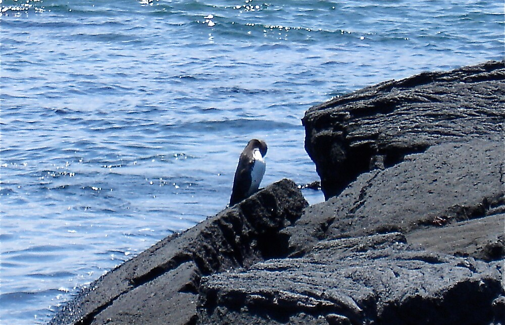 Galapagos Penguin by rachelj