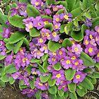 Purple Primroses by lezvee