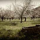 Apricots by Kurt  Tutschek