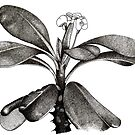 Euphorbia Milii Flower Drawn in Pen and Ink by Jarrod Hall Art