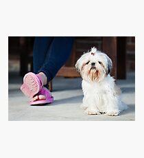 Shih tzu pet Photographic Print