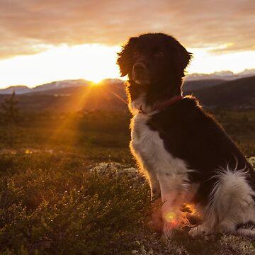Stabyhoun in sunset by FayeP